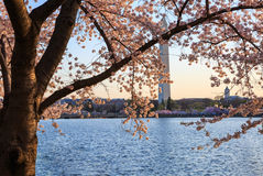 Morning Light on Cherry Blossoms Washington DC stock photography