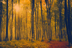 Morning light in a forest during autumn Royalty Free Stock Photo