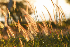 Morning light. The grass flower in the morning Stock Photography