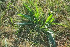 MORNING LIGHT ON GREEN PLANT IN WILD GRASS. View of sunlight on a green plant growing in a patch of green grass Royalty Free Stock Photography
