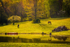 Morning light on horses and a pond in the Shenandoah Valley, Vir Stock Photo