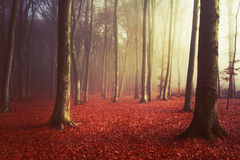 Morning light in misty forest Stock Photography