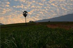 Morning light over sugar cane farm Stock Images