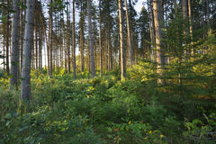 Morning light among pine trees in northern Minnesota forest Stock Photos