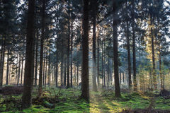 Morning light shining through the trees in a forest stock photo