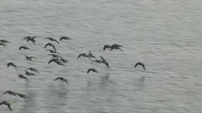 Morning light and wading birds fly low over water. Dunlin flying low over water in morning stock footage