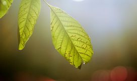 Morning light on a walnut leaf in autumn,blur background royalty free stock photography