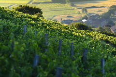Morning lights and colors over vineyards of Beaujolais, France Royalty Free Stock Photos