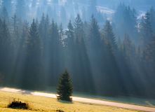 Morning lights and fog in the fir forest with road. Morning lights and fog in the fir forest Stock Photos