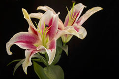Morning Lilies Stock Photography