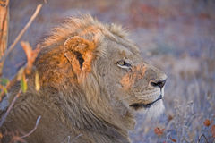 Morning Lion Royalty Free Stock Image