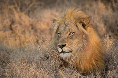 Morning lion, Balule Reserve, South Africa. Royalty Free Stock Photography