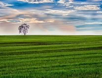 Morning Lone Tree in Green Field With Sunrise royalty free stock photography