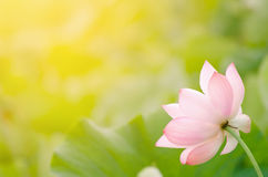 Morning lotus Stock Photo