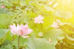 Morning lotus Royalty Free Stock Image