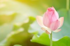 Morning lotus Stock Photos