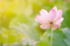 Morning lotus Stock Photo