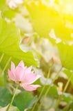 Morning lotus Stock Photography