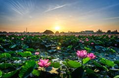 Morning lotus flower stock image