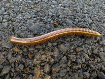 Millipede walking on the street. royalty free stock image