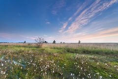 Morning on marsh with cotton grass Stock Photography