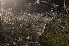 Morning in a meadow. A dewy spiderweb. Stock Photography