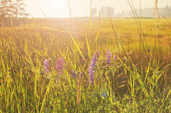 Morning meadow with purple flowers Royalty Free Stock Photos