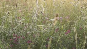 Morning meadow with wet spider webs on grass stock video