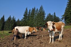 Morning milking on a mountain pasture Royalty Free Stock Photo