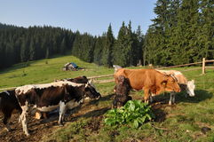 Morning milking on a mountain pasture Royalty Free Stock Images