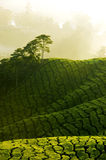 Morning mist. Tea plantation at Cameron Highland Malaysia in early morning stock photos