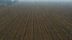 Morning mist above hops field in autumn. Hop plants are cut down for next season, calm nature, soil is prepared for winter rest, nature and agrobusiness stock video footage