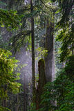 Morning Mist behind Ancient Firs & Cedars. Douglas Fir and Red Cedar giants in Cathedral Grove, Vancouver Island, British Columbia, Canada Royalty Free Stock Photo