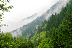 Morning mist cover pine tree forest royalty free stock photos