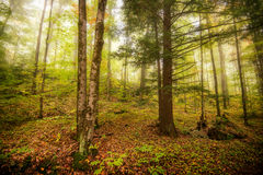 Morning Mist in the Forest Royalty Free Stock Images