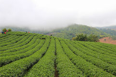 Morning mist and gardens of the 101 Tea Plantation. Located on Doi Mae Salong Mountain in Chiang Rai province of Thailand, just outside Santikhiri near the Royalty Free Stock Photos