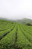 Morning mist and gardens of the 101 Tea Plantation. Located on Doi Mae Salong Mountain in Chiang Rai province of Thailand, just outside Santikhiri near the Stock Images
