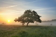 Morning mist and oak Stock Photos