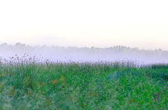 Morning mist over the lake sedge. As a background royalty free stock images