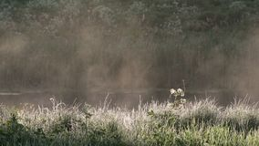 Morning mist rises from lake as the sun goes up with wet grass in foreground. Water vapor at dawn, rising fog. Mysterious atmosphe stock footage