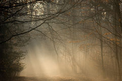 Morning mist in a wood. Morning mist shows through shafts of light Royalty Free Stock Photo