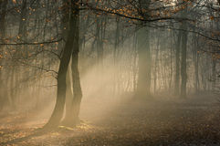 Morning mist in a wood. Morning mist shows through shafts of light Stock Image
