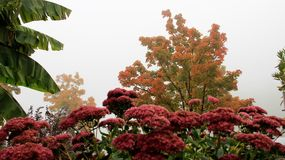 Morning Misty In Autumn With Bloom Flower. Autumn colorful leaves and morning misty with banana leafs blooming flower in  Bodensee lake Germany Stock Photography