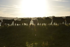 Morning misty cows Stock Photography