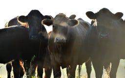 Morning misty cows Stock Photos