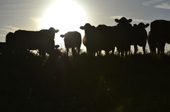 Morning misty cows Royalty Free Stock Photography
