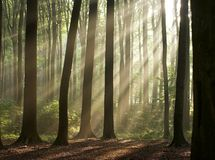 Morning in the misty forest. Sun rays crossing a misty forest photographed in an early autumn morning. Horizontal format royalty free stock image