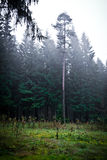 Morning mood in the forest VI Stock Photography