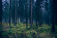 Morning mood in the forest VI Royalty Free Stock Photos