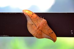 Morning Moth stock images